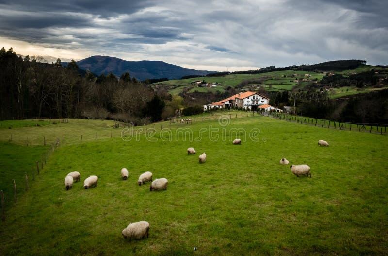 Får flockas och ett berghus i det baskiska landet fotografering för bildbyråer
