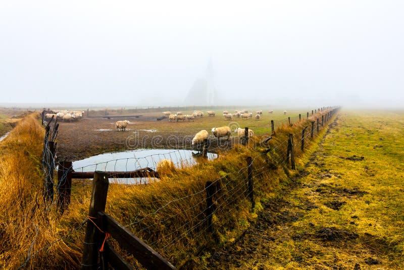 Får framför kyrkan den Den Hoorn på höstens foggy morse, Texel, Nederländerna arkivfoto