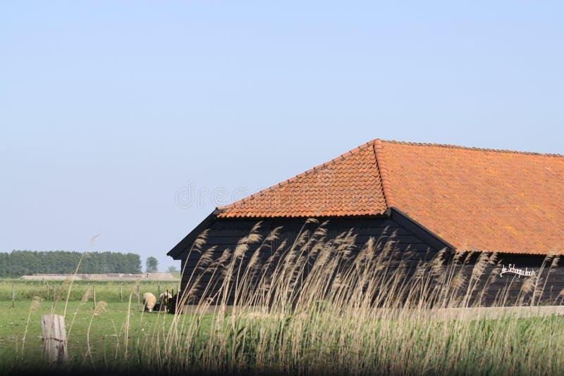 Får i det holländska landskapet av Zeeland i Holland royaltyfria bilder