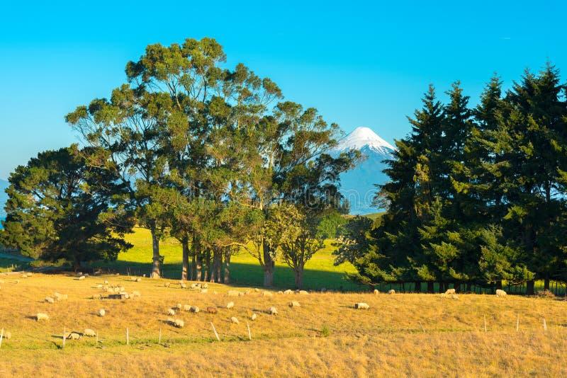 Får i en lantgård på kusterna av sjön LLanquihue med den Osorno vulkan i baksidan royaltyfri bild