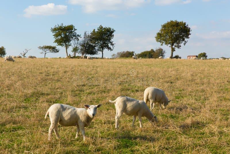 Får i för Devon England UK för fältBlackdown kullar en östlig sikt bygd i detta engelska område av utstående naturlig skönhet arkivbilder