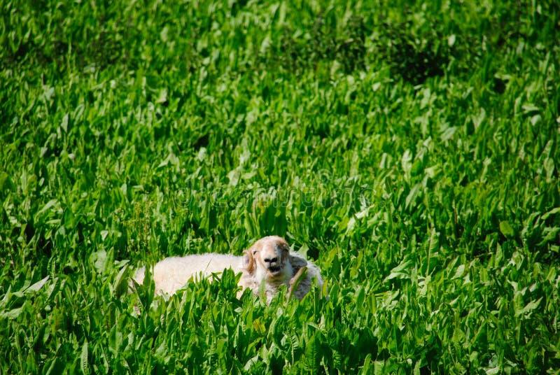 Får i gräset fotografering för bildbyråer