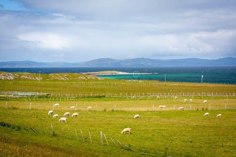 Får i Iona, en liten ö i den inre Hebridesen av Rossen av Mull på den västra kusten av Skottland arkivfoto