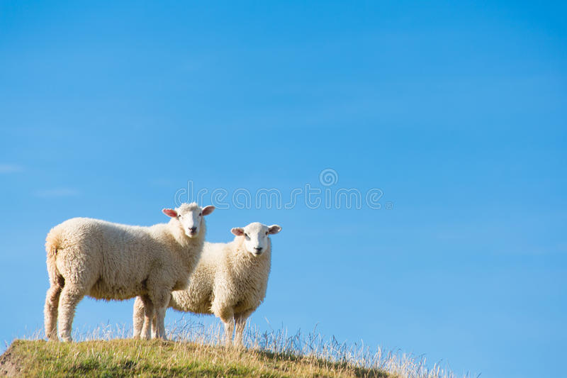 Får i Nya Zeeland fotografering för bildbyråer