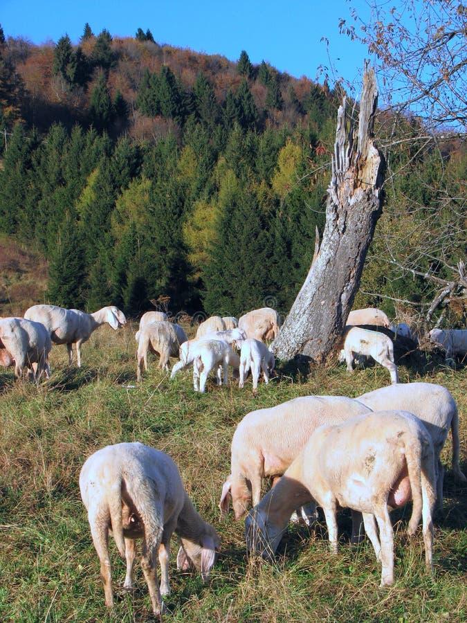 Får i stora flockar som betar i bergen royaltyfria bilder