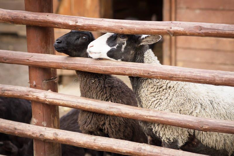 Får inhemskt lantgårddjur bak staketet Lantgård arkivbild