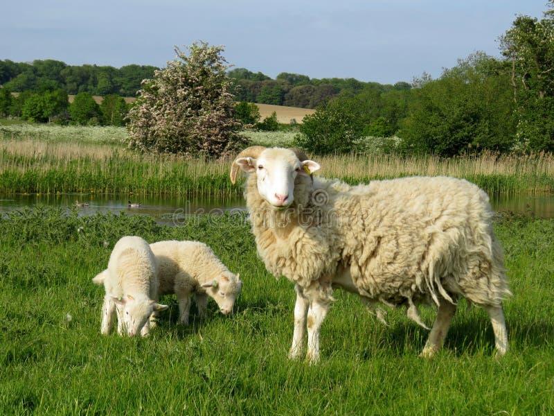 Får med unga lamm som betar på ett fält av en sjö royaltyfri foto