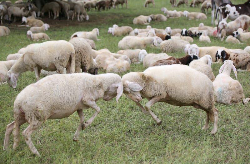 Får med woolen skyler sammandrabbning handlöst fotografering för bildbyråer