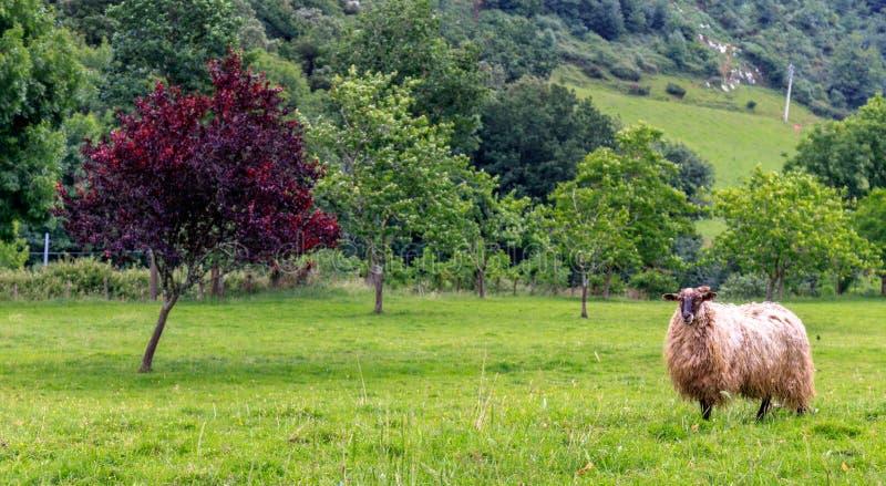 Får nära ett grönt gräs för träd royaltyfri bild