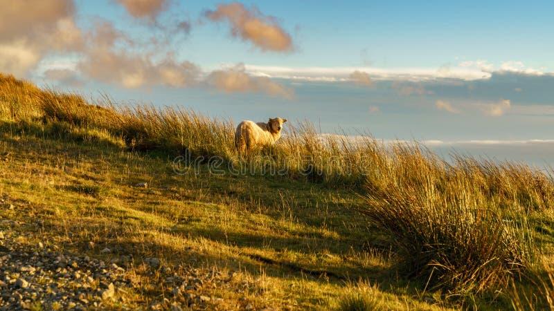 Får nära Treorchy som förbiser den Ogmore dalen, Rhondda Cynon Taf som är mitt- - glamorgan, Wales, UK royaltyfri bild