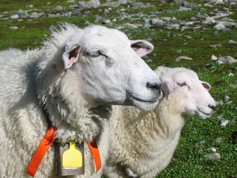 Får Och Henne Lamb Gratis Bilder