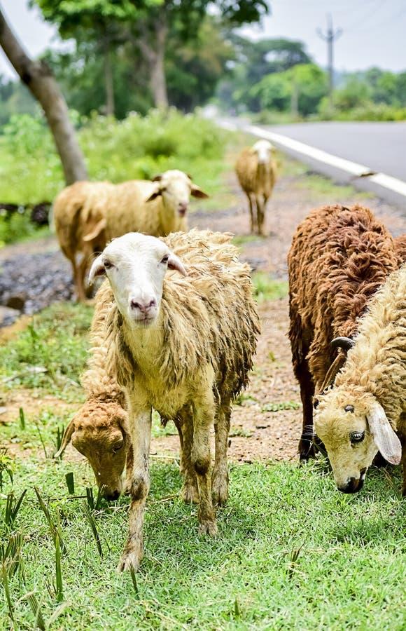 Får och lamm i flock av någon okänd boskaplantgård i det nära mötet som ser med nyfikna och frågvisa ögon royaltyfri bild