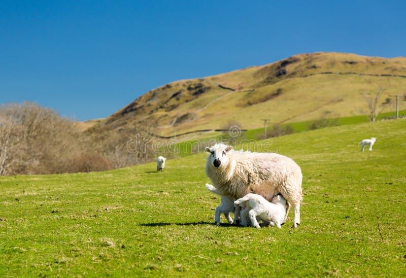 Får och lamm i welsh berglantgård arkivfoto