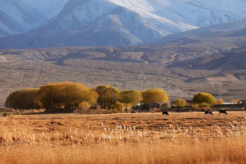 Får och liten by på foten av snöberget på Pamirs i nedgång royaltyfri fotografi