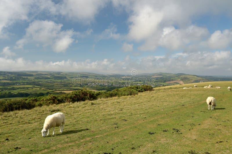 Får på Ballard Down ovanför Corfe i Dorset royaltyfria bilder