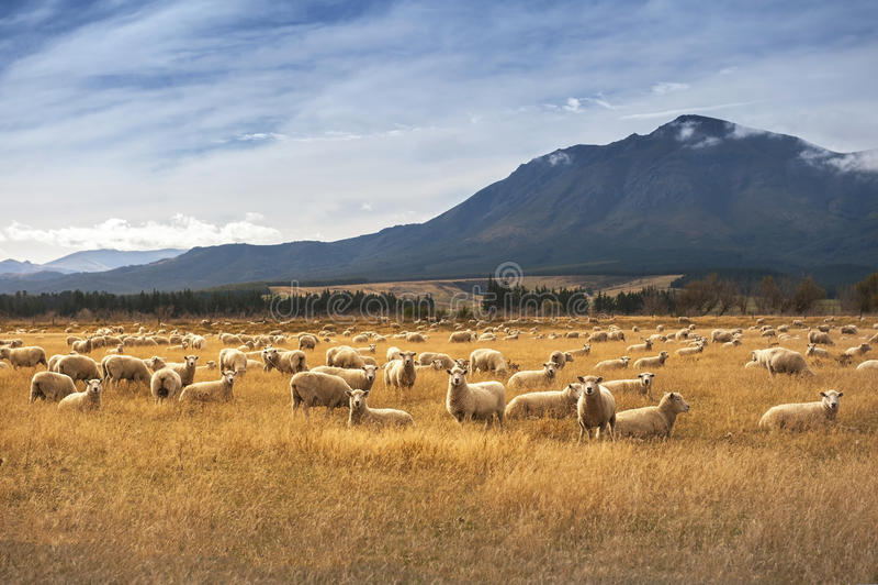 Får på Nya Zeeland arkivfoton