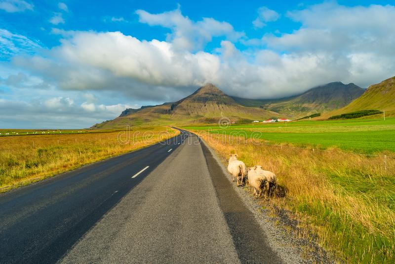 Får på vägen och det isländska färgrika och lösa landskapet på Island arkivbilder