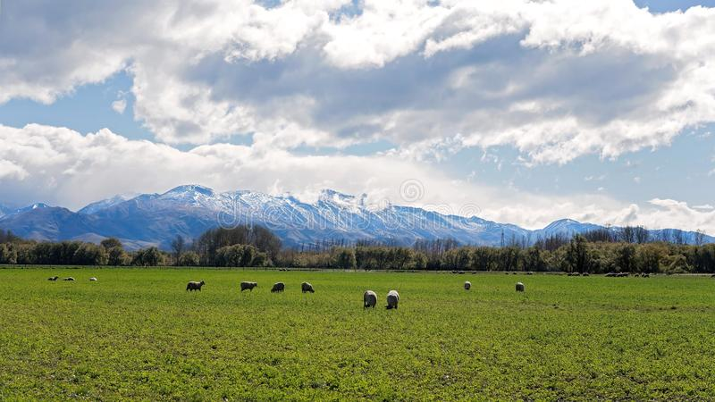 Får som betar i ett fält i Front Of Snow Covered Alps arkivbilder