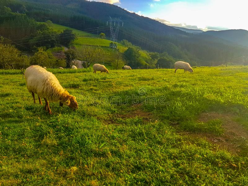 Får som betar i fältet med andra får i flocken Får av den Beltza arten som är typiska av nordliga Spanien arkivfoton