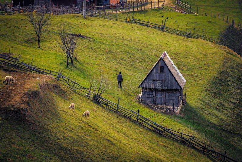 Får som betar på en kulle nära ett staket och ett litet hus på soluppgång och en gamal man med baksidan på kamera i en pittoresk  royaltyfri foto