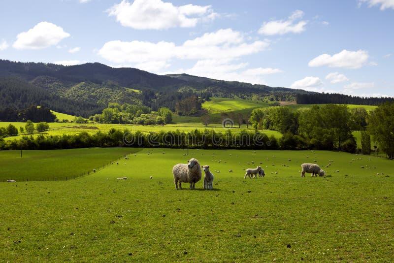 Får som fattar gräset fotografering för bildbyråer