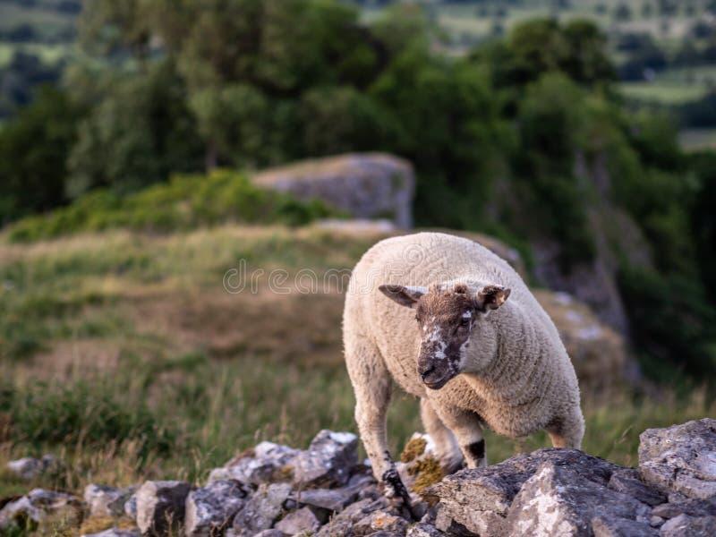 Får som flyttar sig över stenar i det maximala området av UK arkivfoton
