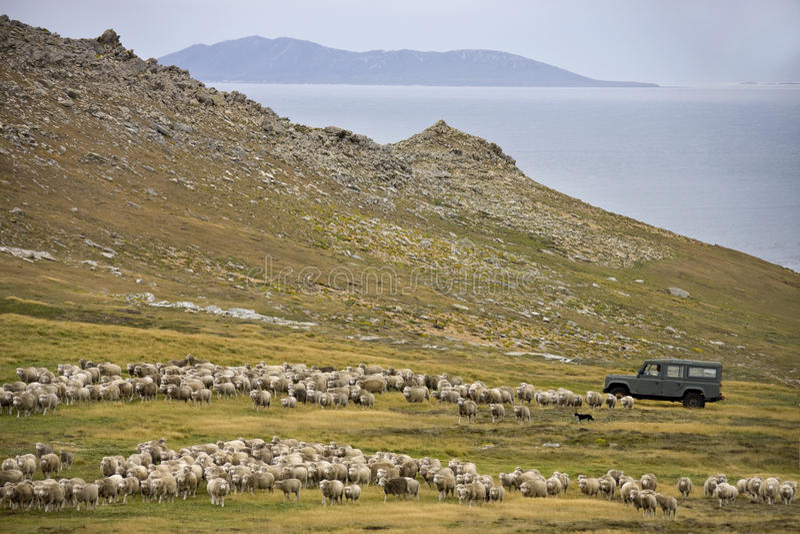 Får som samlas - Falkland Islands royaltyfria foton