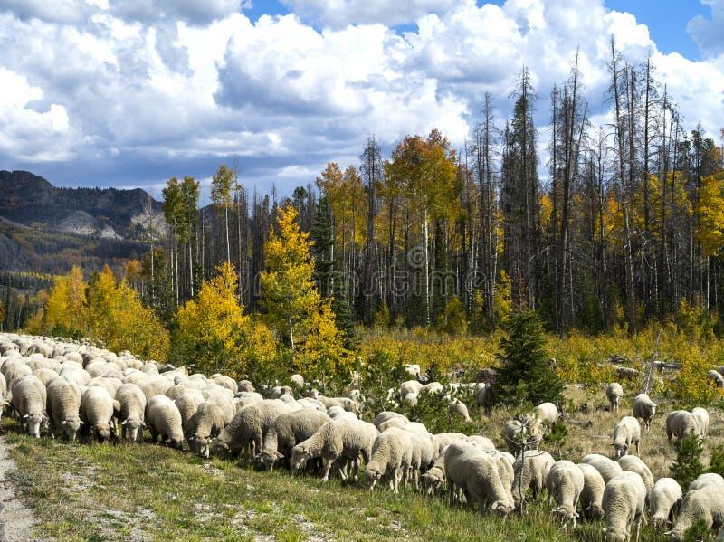 Får som samlas i Wyoming royaltyfri foto