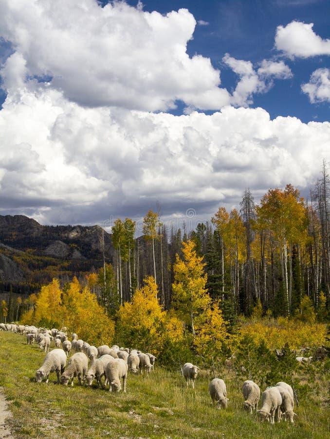 Får som samlas i Wyoming arkivbilder