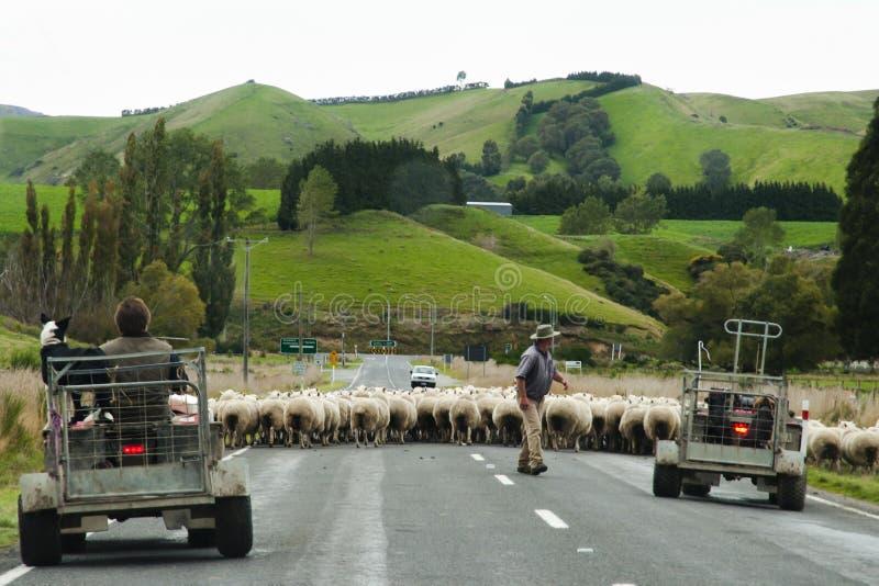 Får som samlas - Nya Zeeland royaltyfria bilder