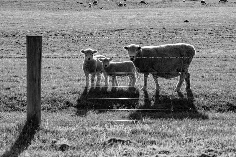 Får, tacka och två lamm som inquisitively ser till och med staketet royaltyfri bild