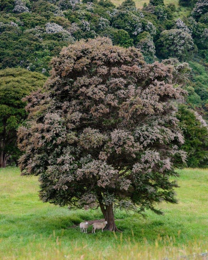 Får under ett infött träd, Nya Zeeland royaltyfri foto
