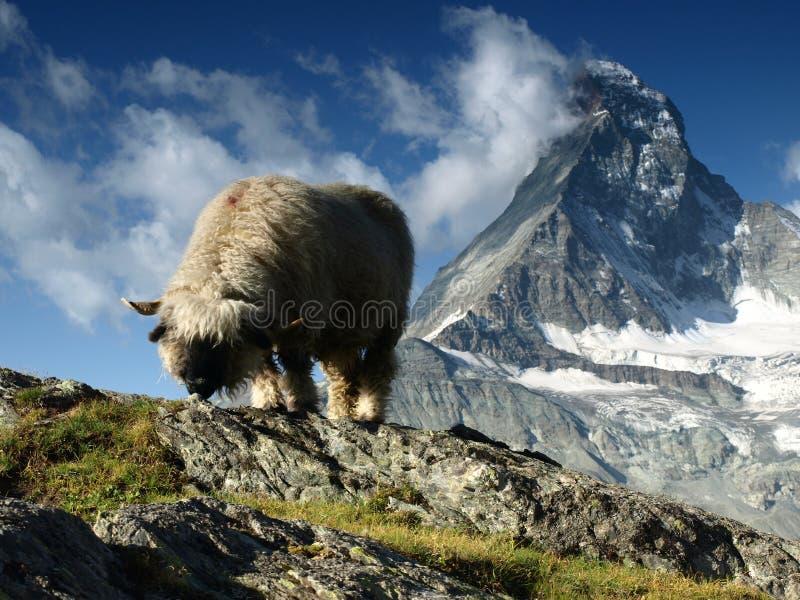 Får under Matterhorn, Schweiz arkivbilder