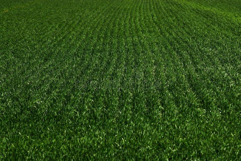 Fårafältskördar på växande tillväxtgräsplan för lantgård royaltyfria bilder
