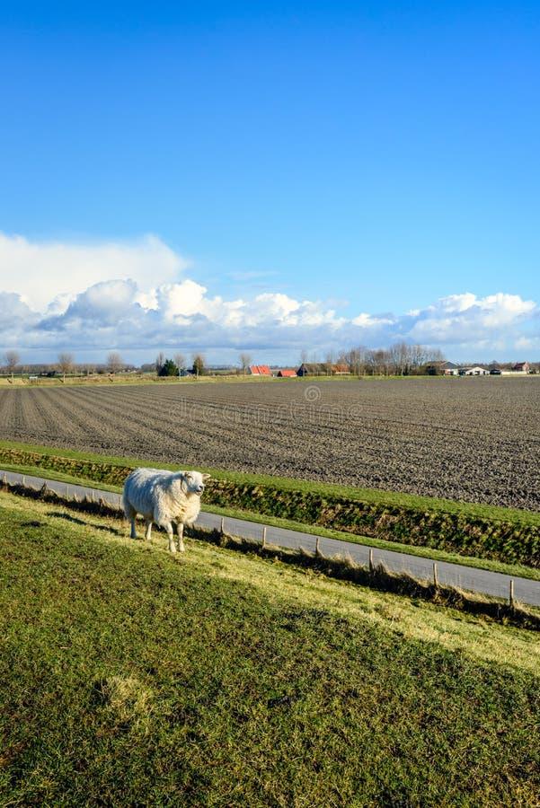 Fåret promenerar ett staket bredvid en landsväg royaltyfri fotografi