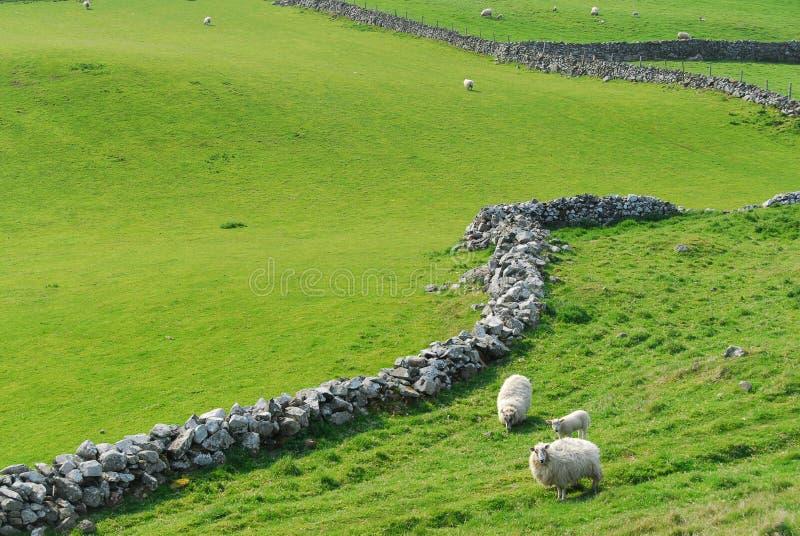 Fåret som betar på den near stenen för grönt gräs, fäktar arkivbilder