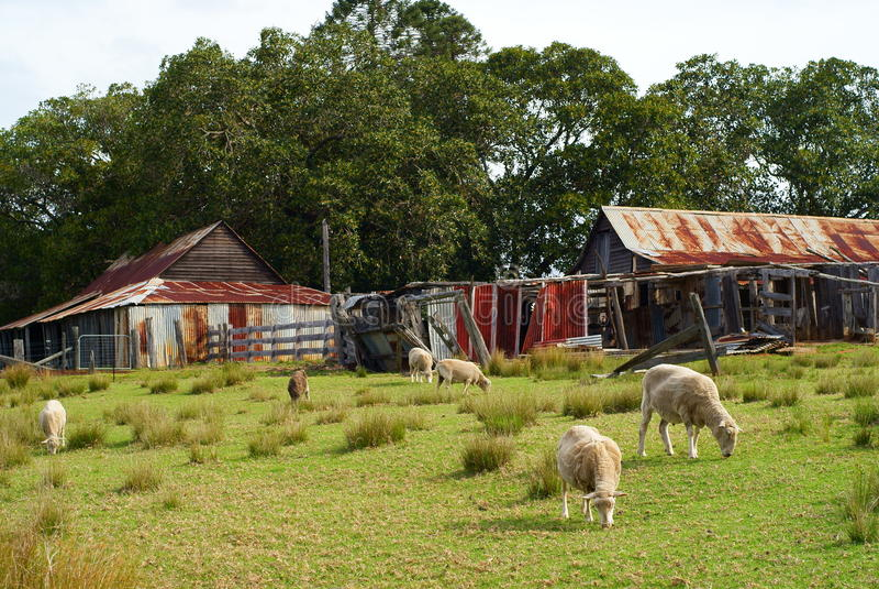 Fårlantgårdtappning Australien royaltyfri bild
