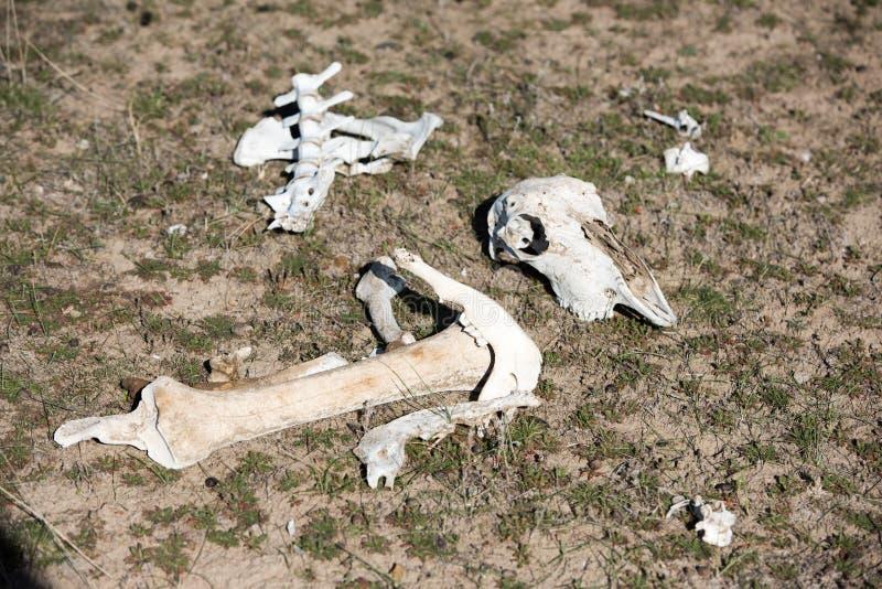 Fårskalle och ben på jordningen arkivfoto