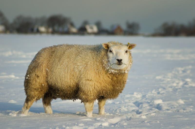 fårsnow arkivfoton