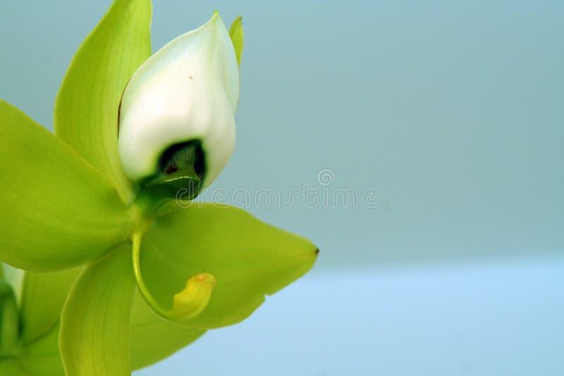 Fée d'orchidée photographie stock