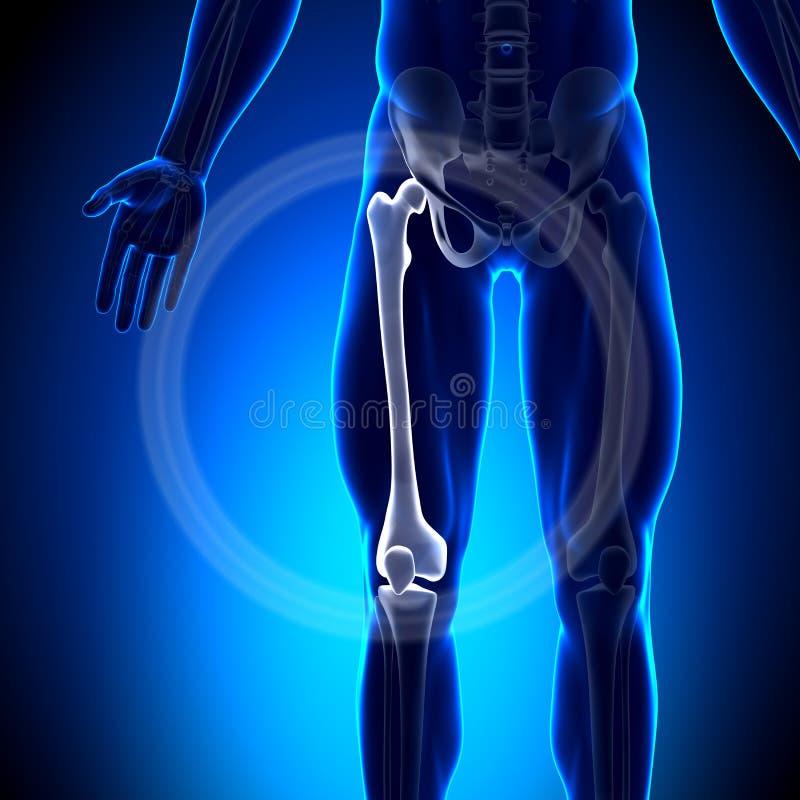 Fémur - huesos de la anatomía stock de ilustración