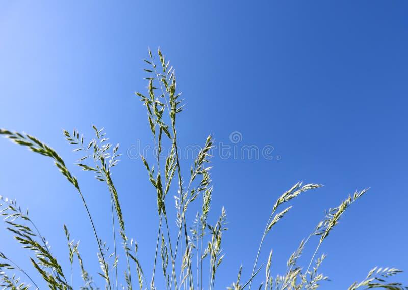 Fétuque bleue d'herbe décorative sur le fond de ciel bleu Épillets de glauca de Festuca image libre de droits