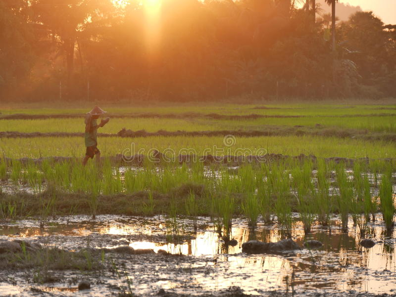 4 février 2017, Hpa-an Myanmar - jeune garçon asiatique marchant par le gisement de riz images stock