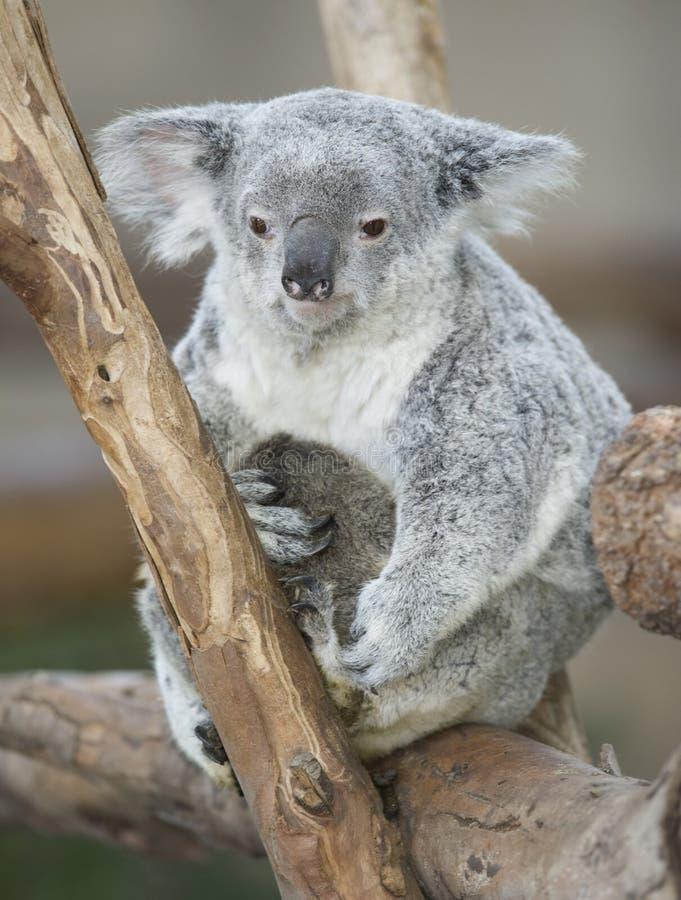 Fêmea adulta australiana de urso de Koala com joey do bebê fotografia de stock royalty free