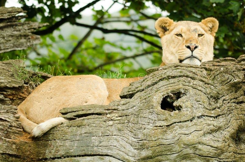 Fêmea africana do leão imagens de stock royalty free