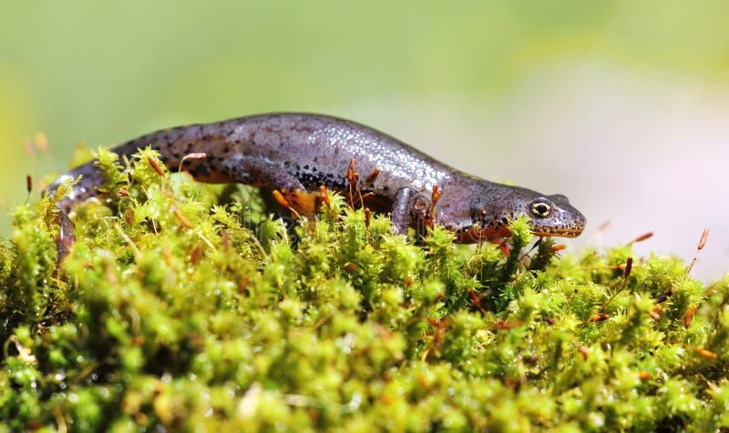 Fêmea alpina do newt no musgo verde imagens de stock