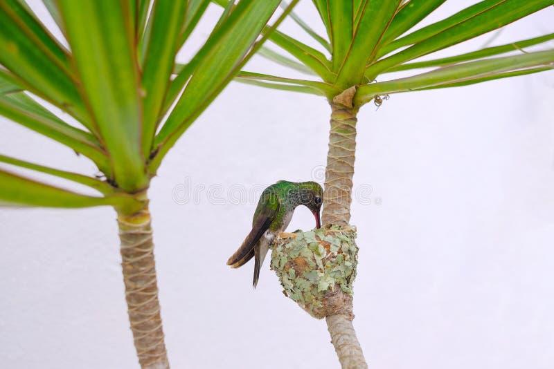 A fêmea Brilhar-inchou o colibri esmeralda, Chlorostilbon Lucidus, alimentando lhe dois pintainhos em seu ninho, Brasil imagens de stock royalty free