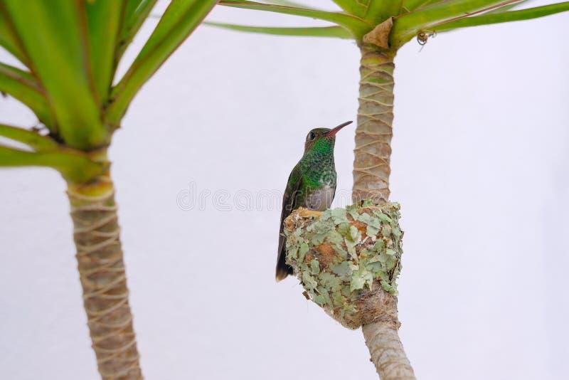 A fêmea Brilhar-inchou o colibri esmeralda, Chlorostilbon Lucidus, alimentando lhe dois pintainhos em seu ninho, Brasil fotos de stock