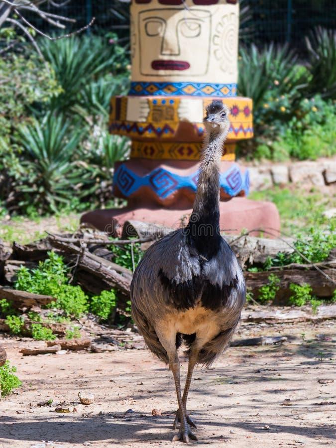 A fêmea da avestruz americana - Rhea Americana - ema comum - caminhadas através da selva em um dia ensolarado fotos de stock