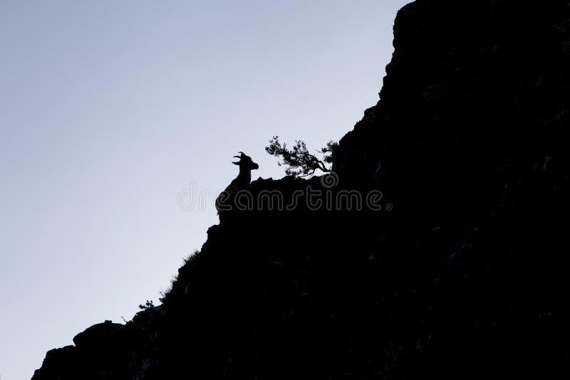 Fêmea da cabra de montanha em Peña de Francia, Salamanca imagens de stock